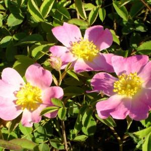 Rosa villosa