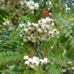 Sorbus koehneana, Syn. S. frutescens