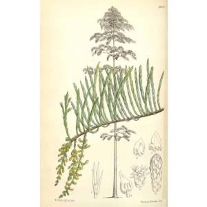 Taxodium ascendens, Syn. T. distichum var. ascendens