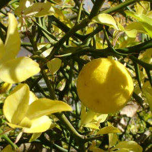 Poncirus trifoliata