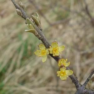 Shepherdia argentea