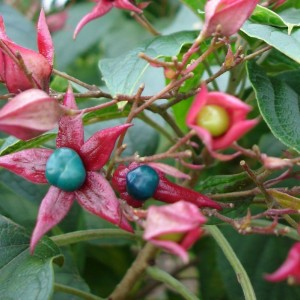 Clerodendron trichotomum var. fargesii