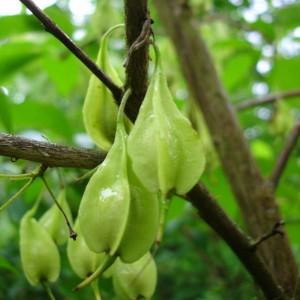 Halesia carolina var. moncticola