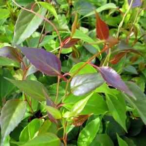 Schisandra grandiflora var. rubriflora