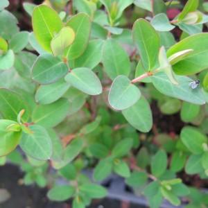 Hypericum kouytchense, Syn. H. grandiflorum