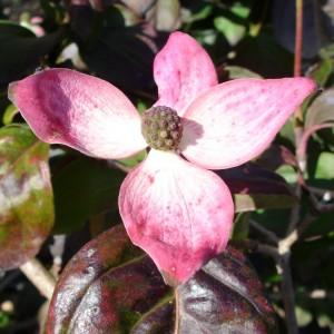 Cornus florida