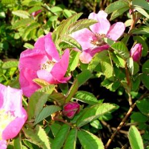 Rosa majalis, Syn. R. cinnamomea