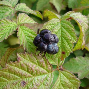 Rubus caesius