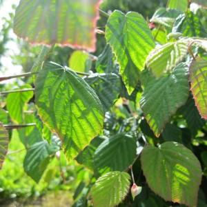 Corylopsis willmottiae