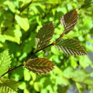 Ostrya carpinifolia