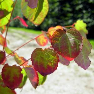 Cercidiphyllum japonicum var. magnificum