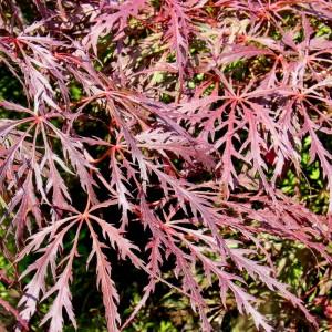 Acer palmatum 'Dissectum Atropurpureum' ' (Syn. 'Ornatum')