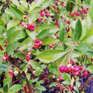 Aronia arbutifolia