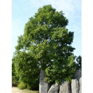 Metasequoia glybtostroboides