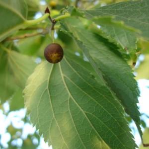 Celtis occidentalis