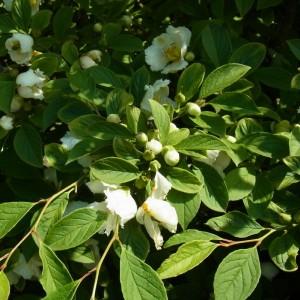 Stewartia pseudocamelia